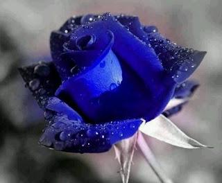 gambar bunga mawar indah 18