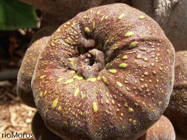 Fruto de la HIGUERA DEL HIMALAYA Ficus auriculata
