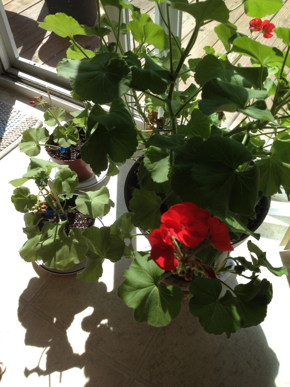 how to grow lush geraniums