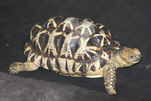 Burmese Star Tortoise