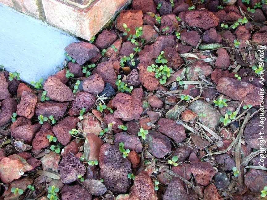 Drake Chinese Elm Seedlings in the red accent stone