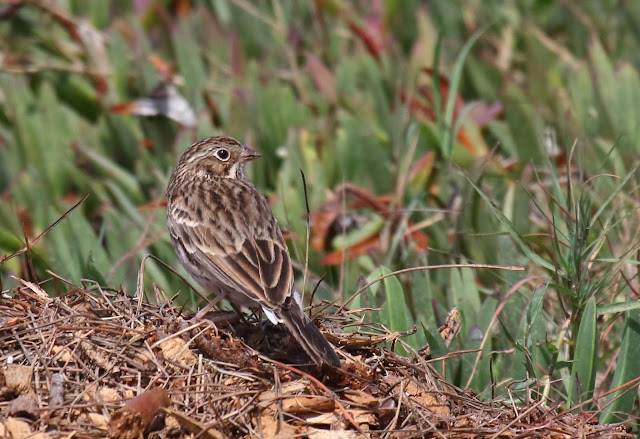 Vesper Sparrow in San Diego