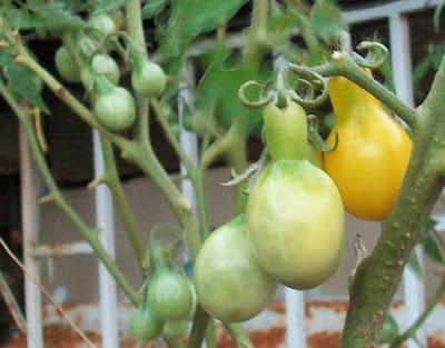 tomates cherry pera amarillos