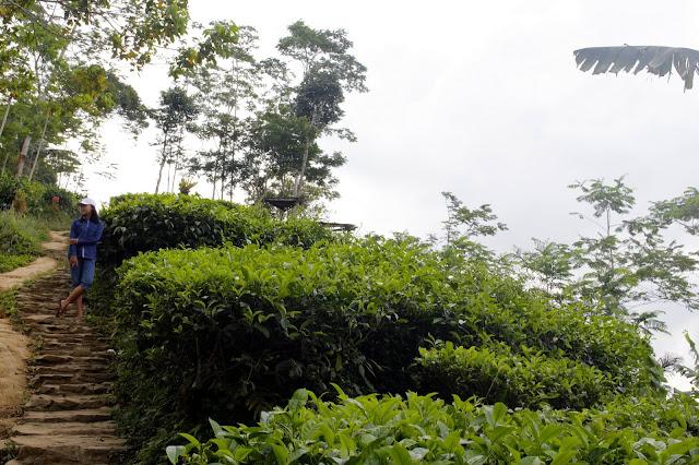 Berwisata Ke Kebun Teh Nglinggo Samigaluh, Kulon Progo
