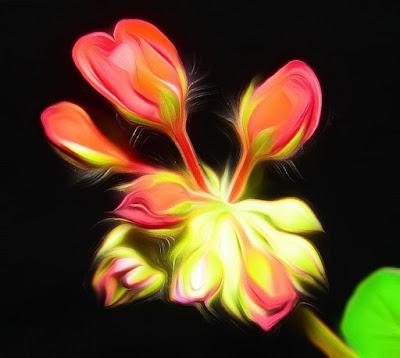 Geranien, geraniums,  Мушкато, kurerehad, pelargonioita, γεράνια, Gerani, pelargonije, geranier, pelargonie, Gerânio, mușcate, Герани, Гераниумс, muškáty