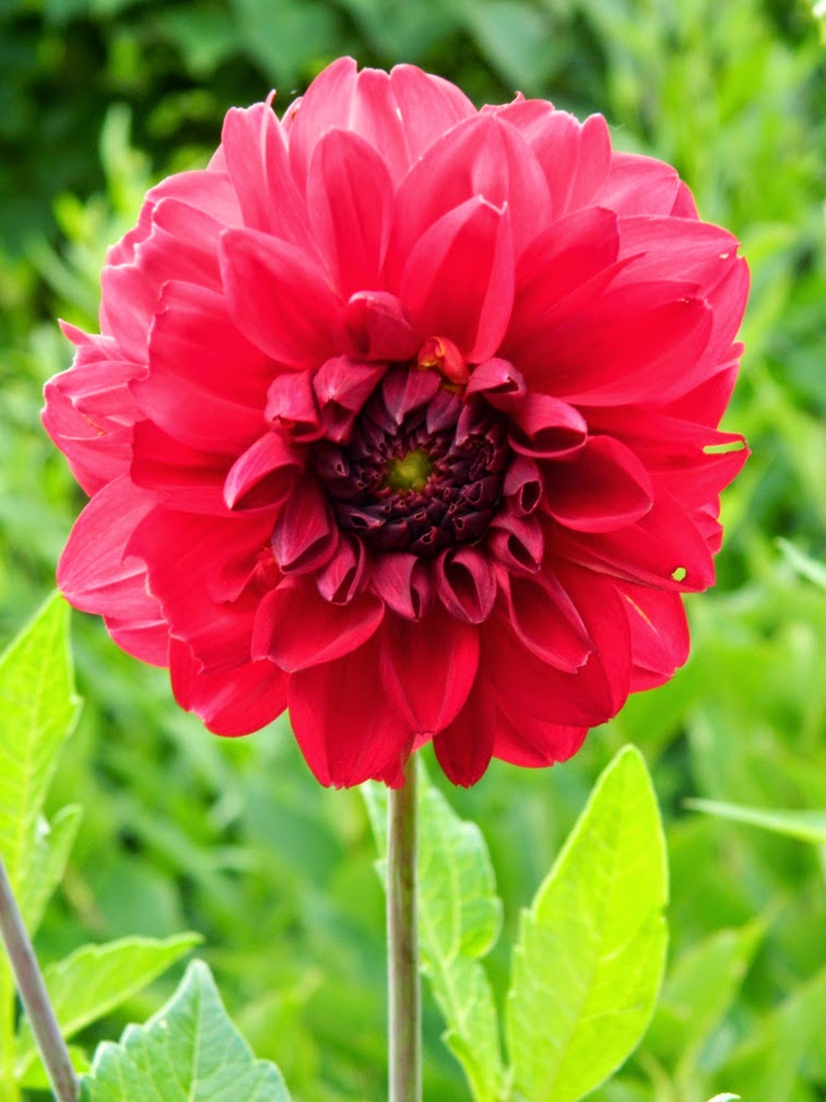 Red dahlia James Gardens Etobicoke by garden muses-not another Toronto gardening blog