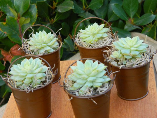 Rustic wedding favors Pails with Succulent Plants