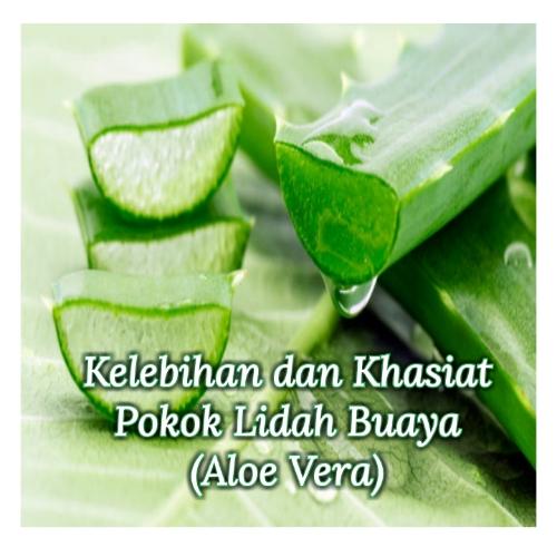 Kelebihan dan Khasiat Pokok Lidah Buaya (Aloe Vera)