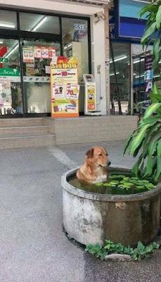 Extrem heißes Sommer-Wetter - armer Hund kühlt sich ab lustig