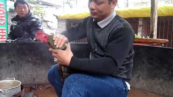 Cách nuôi gà chọi nhanh lớn