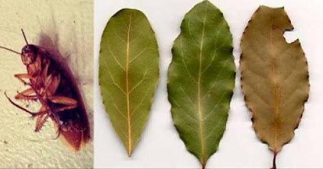 ضعوا بضعة أوراق من هذه النبتة ولن تروا الصراصير حيلة طبيعية للتخلص منها دون استخدم مواد سامة ...