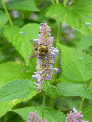 Agastache foeniculum Giant hyssop Toronto ecological gardening by garden muses-not another Toronto gardening blog