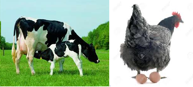 vaca-gallina