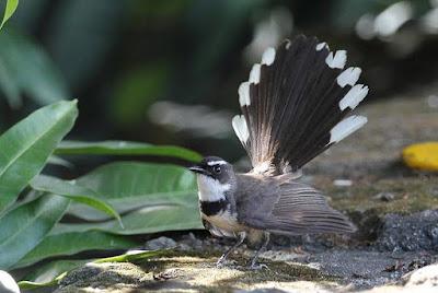 4 Cara Tepat Merawat Burung Sikatan Jawa Agar Selalu Gacor Setiap Hari