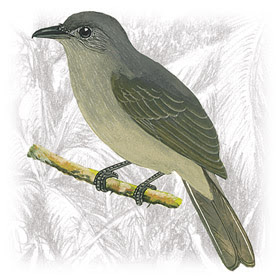 Pássaro Cricrió (Lipaugus vociferans)