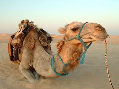develer nasıl susuzluğa dayanır