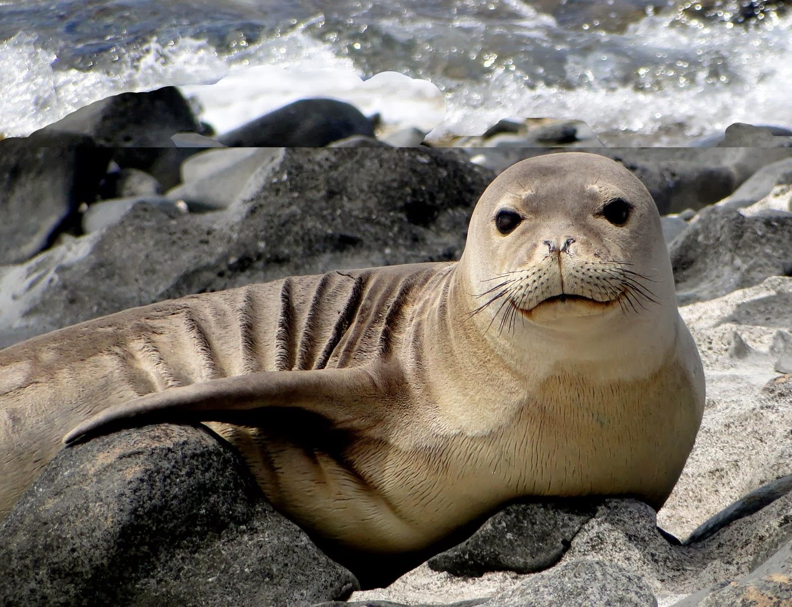 Hawaiian Monk Seal Wild Life World