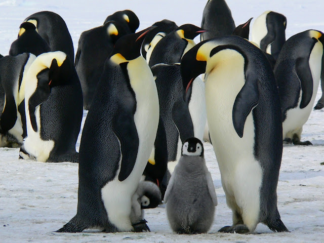 Penguins Standing on the Snow during Daytime Enjoying Beautiful Wildlife HD Wallpaper