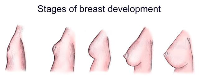 Tahap-tahap perkembangan payudara wanita