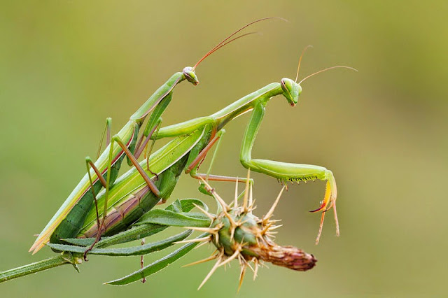 animales mantis en acto sexual