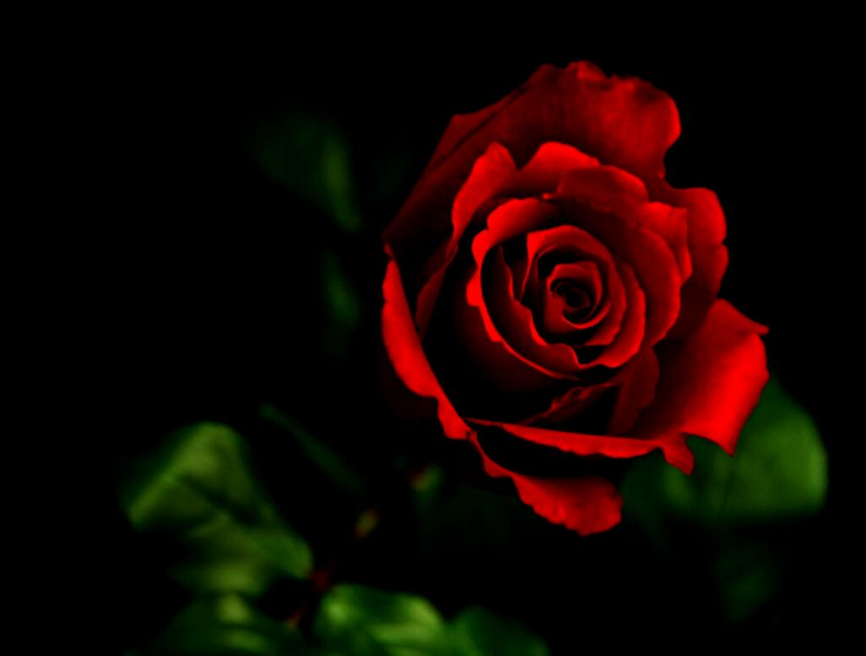 Definition of a red rose
