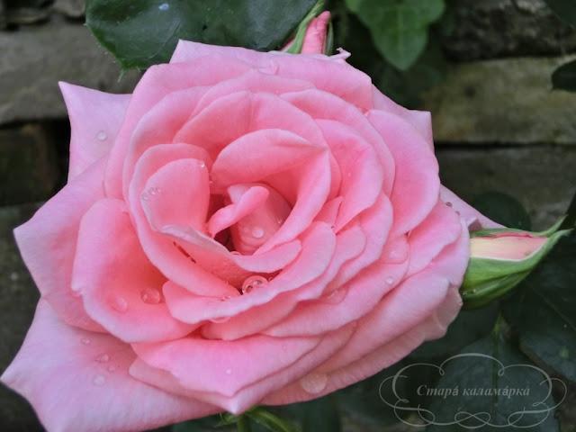розарий, сочетания роз, розы фото, розы в саду, цветники с розами