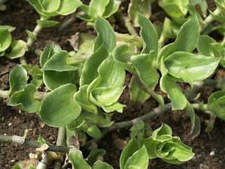 Callisie de Soconusco - Callisia soconuscensis