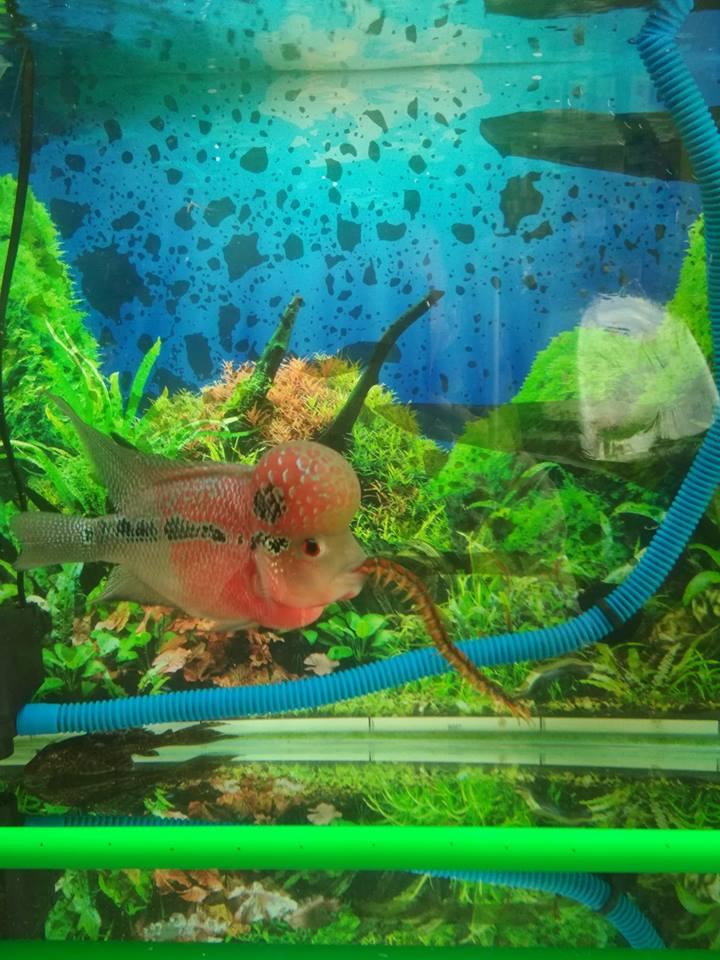 Ikan louhan makan kelabang