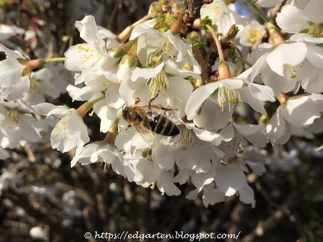 Biene auf dem Zierkirschenbäumchen