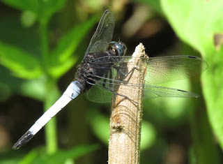 Orthetrum triangulare, Blue-tailed Forest Hawk