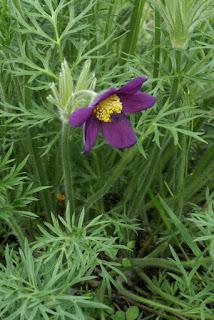 Pulsatille des montagnes - Anémone des montagnes - Anemone montana - Pulsatilla montana