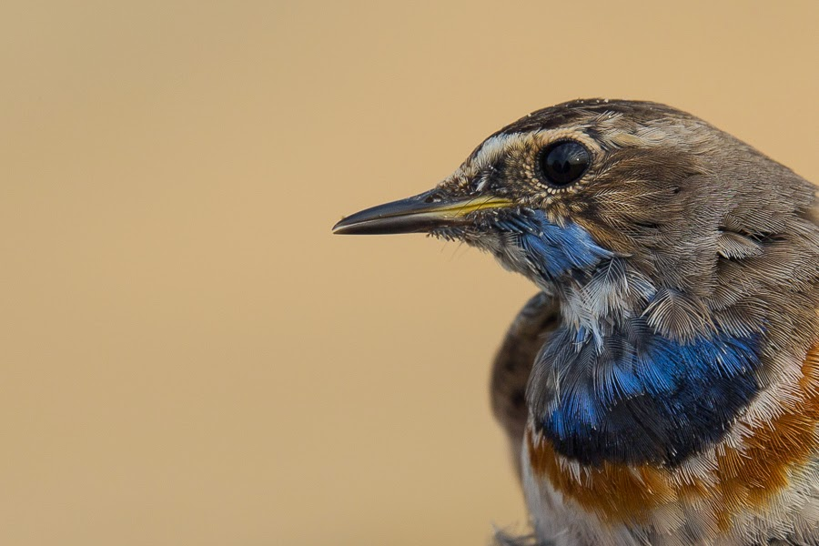 Red-spotted Bluethroat - male