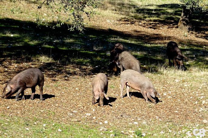 Iberico-varkens