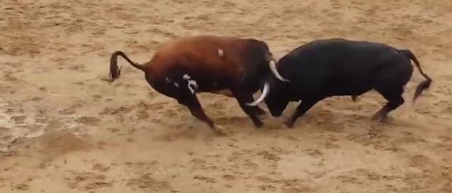 Foto de duelo de touros