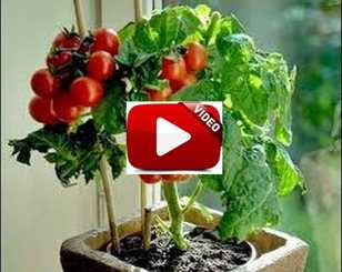 Video Cara Menanam Tomat Dari Biji Di Dalam Pot Polybag Agar Cepat Berbuah