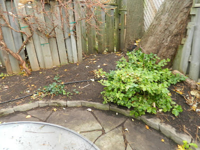 Monarch Park Backyard Toronto Fall Cleanup After by Paul Jung Gardening Services--a Toronto Organic Gardening Company