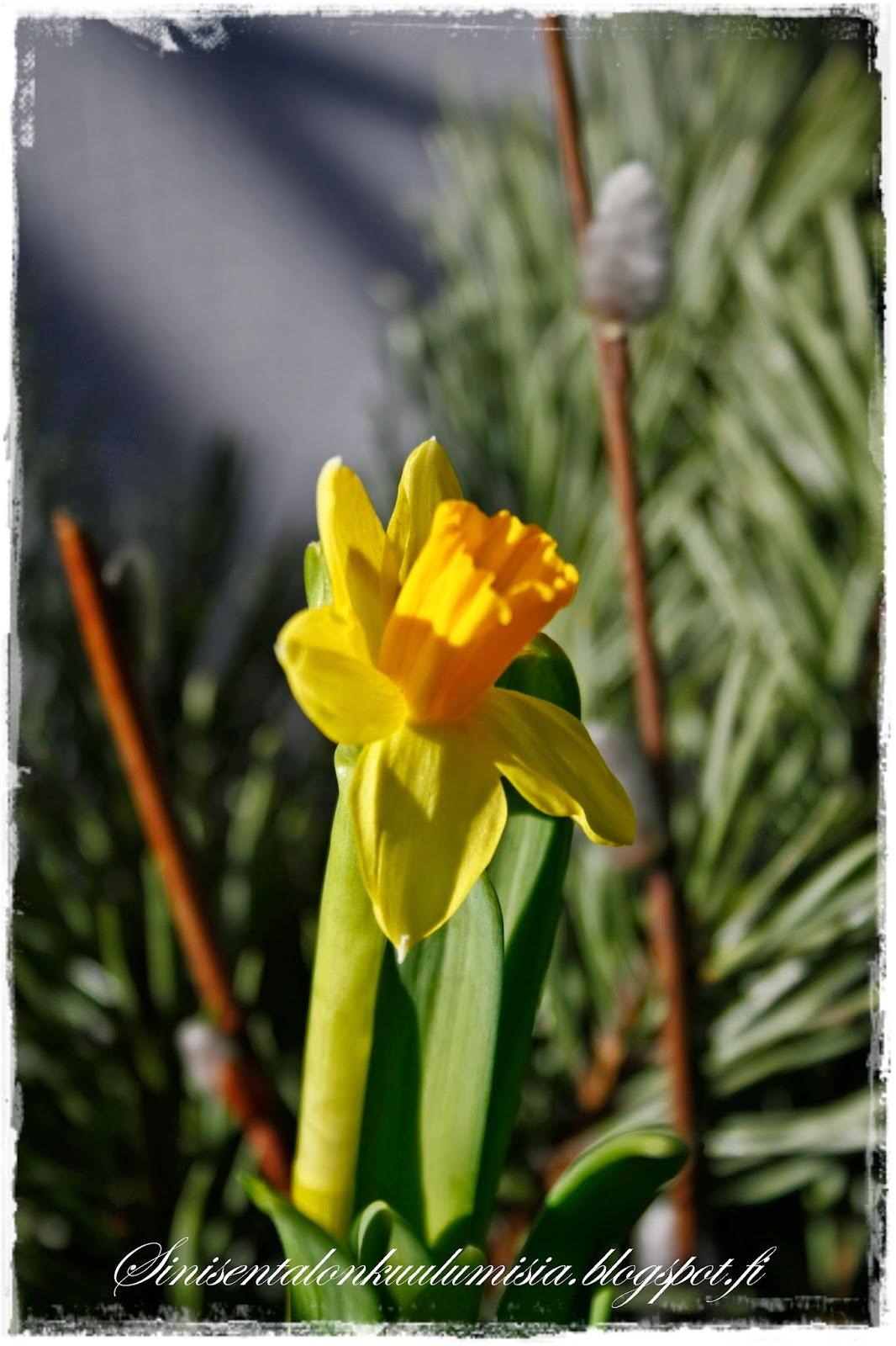 kevät kukat ulos