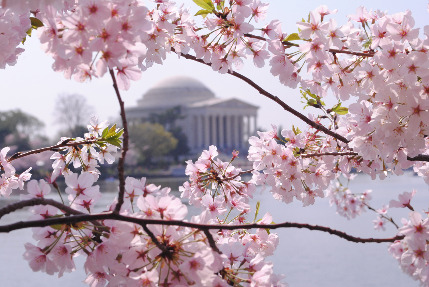 Three cheers for Cherry blossoms and a giveaway!! ~ Home ...
