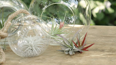 Grow and care Tillandsia air plants