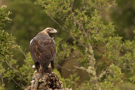 HIDE ÁGUILA IMPERIAL IBÉRICA (Aquila adalberti) El Millarón