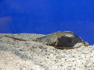 リヴォルノ水族館のカブトガニ