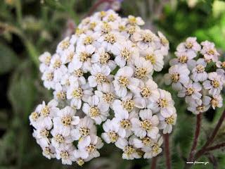 Ελληνικά ονόματα φυτών και βοτάνων