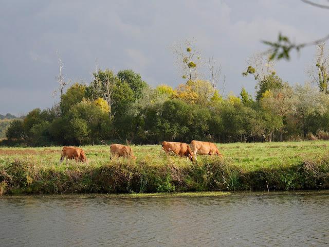 Les  vaches nantaises paissent dans le marais, juste en face de Redon