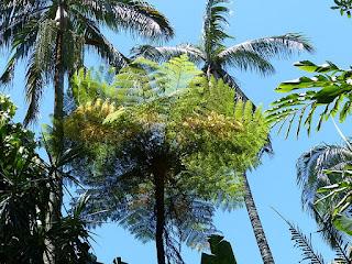 Cyathea sp. - Fanjan - Fougères arborescentes de la Réunion