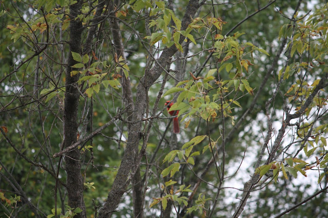 Cardinal in a tree peeking at us in Blackwell Forest Preserve