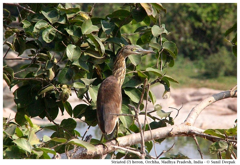 Striated heron, Orchha, Madhya Pradesh, India - Images by Sunil Deepak