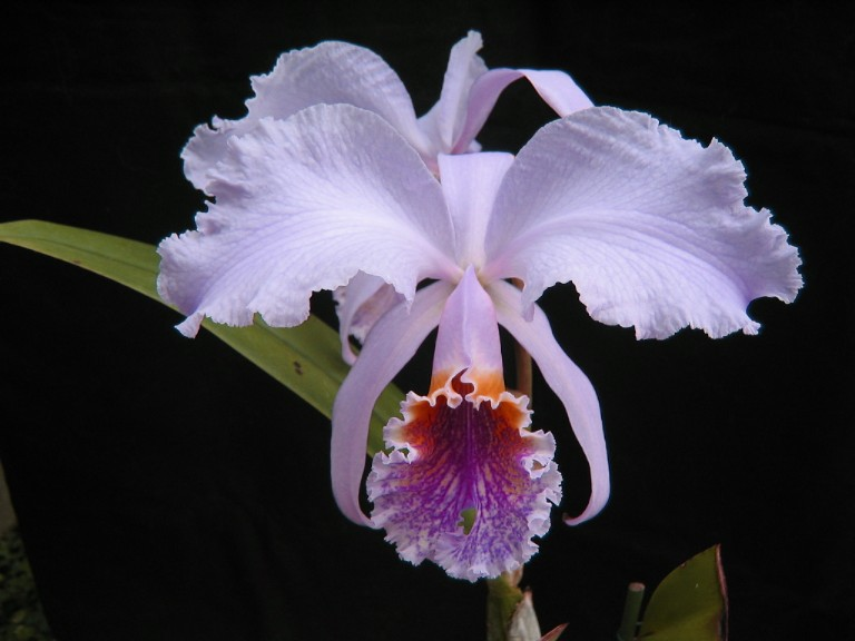 Cattleya mossiae orchid plant care and culture | Travaldo's blog