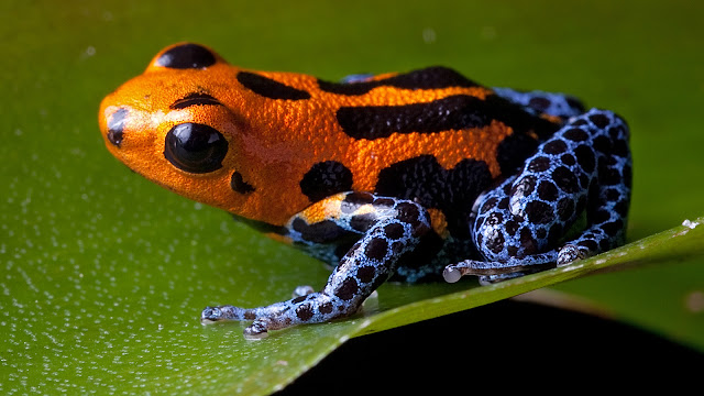 Poison Dart Frogs katak beracun yang sangat cantik dan indah