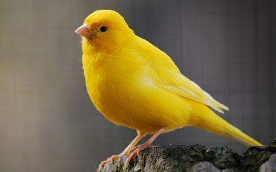 Berikut Manfaat Cacing Untuk Burung Kenari