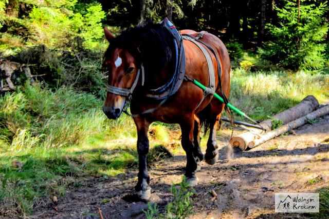 koń ciągnący kłodę
